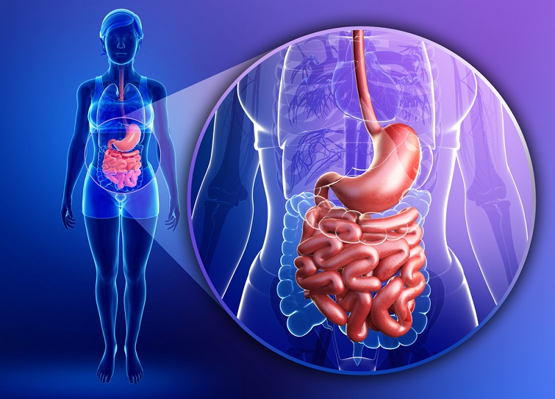 small-intestine-anatomy-of-female
